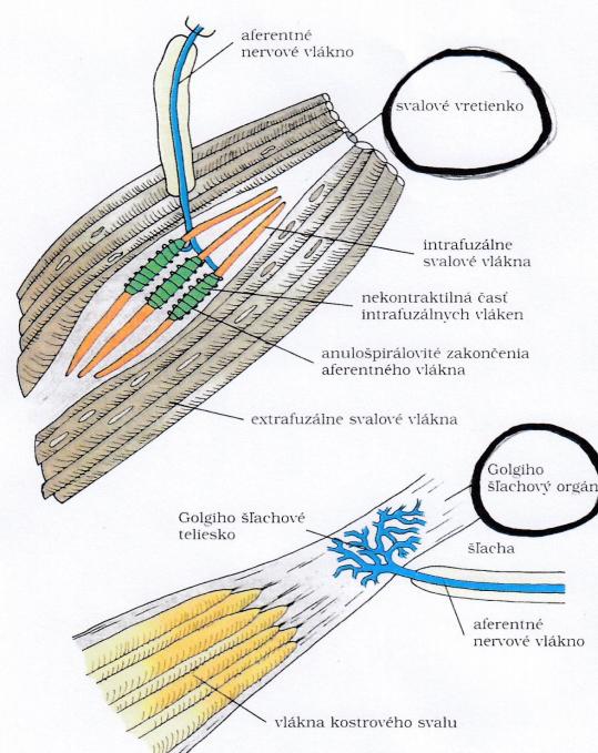 golgiho orgán a svalové vretienko