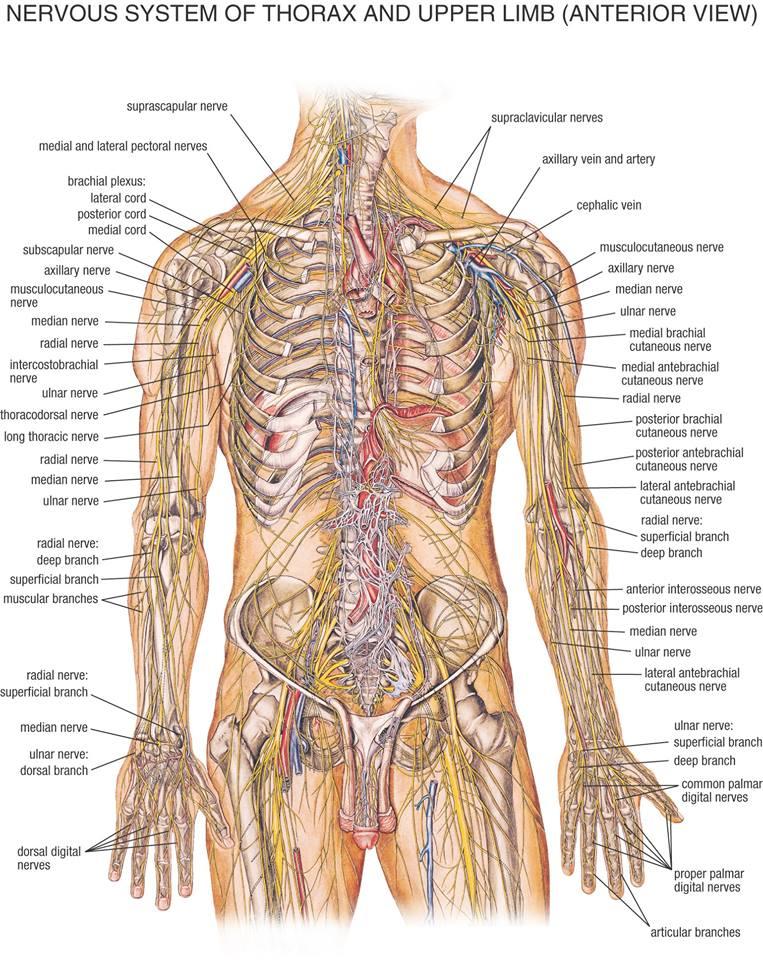 nervy tela